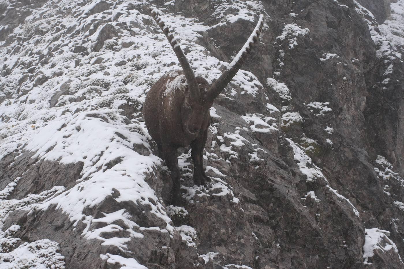 Steinbock am Zustieg zum Geißhorn Gipfel